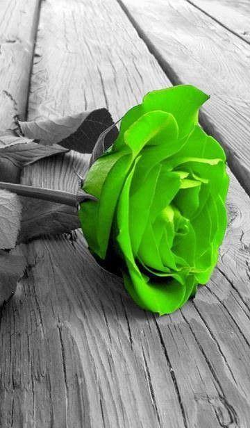 rose verte chez poupette centerblog